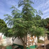 One year old Moringa trees